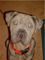 Blue. Foster dog, adopted 2010.