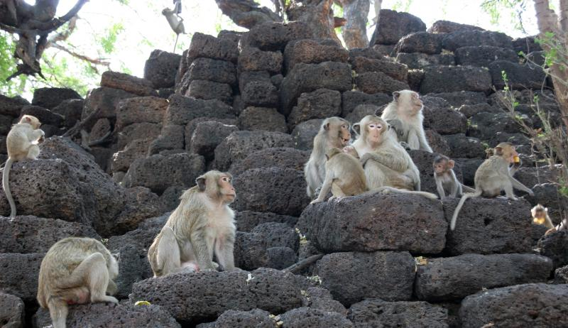 Crab-eating Macaques in Lopburi, Thailand (behind Sarn Phra Karn shrine)
