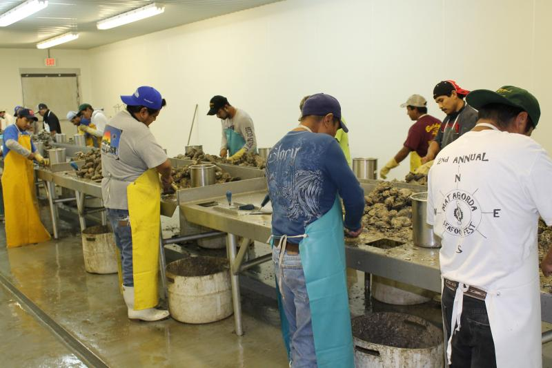 Workers shuck oysters at one of Buddy Treybig's oyster processing facilities.