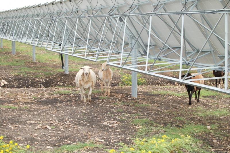 About 90 sheep are employed at OCI Solar Power's Alamo 2 solar farm in northeast San Antonio.