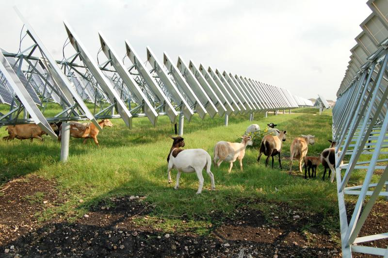 The sheep have been effective so far, according to OCI Solar Power officials.