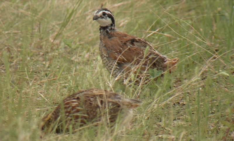Bobwhite quail forage in the Texas natural grass.