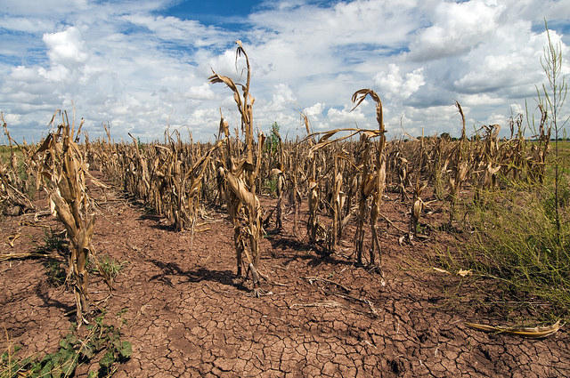 Texas corn withered by drought in 2013.