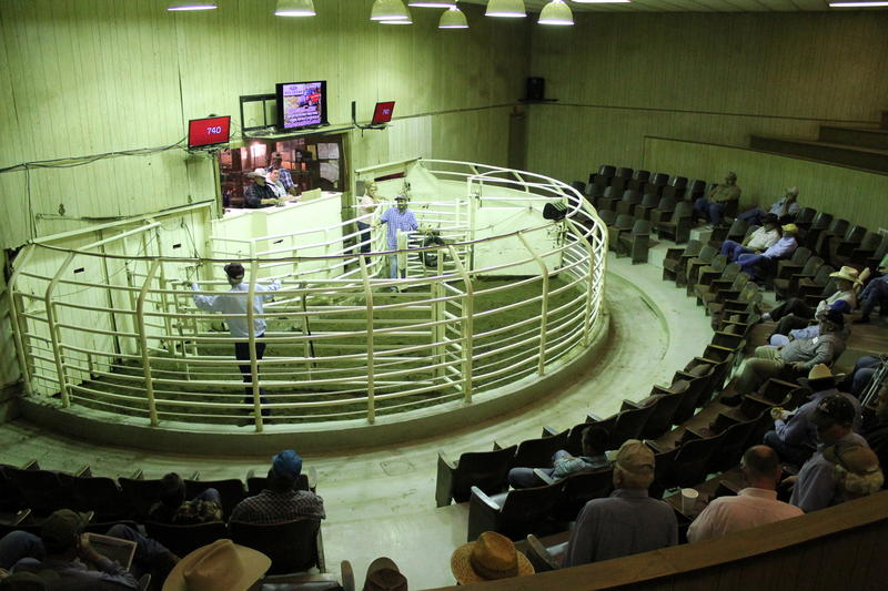 Auction ring at the Milano Livestock Exchange