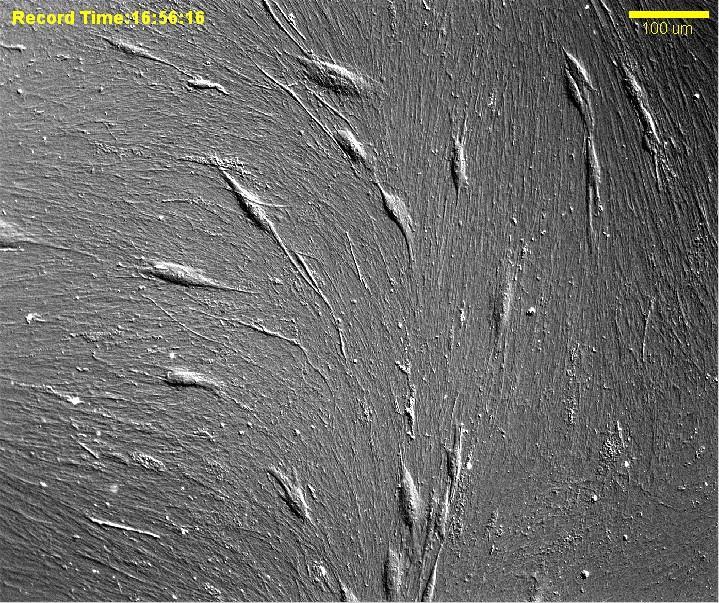 Stem cells as seen through a microscope