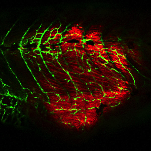 Example of the side of tumor in the fish with a tumor labelled with red and the blood vessels labelled with green (GFP). Tumor cells recruit blood vessels to get nutrients. Published in Cancer Cell in 2012.