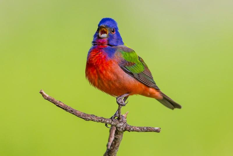 "Painted bunting photographed  in the Texas Hill Country. Adams Clark's work is featured in the printed publication of ""Book of Texas Birds."""