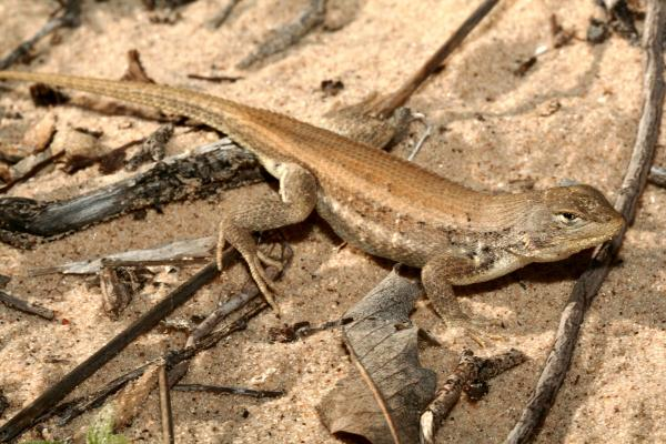 The dunes sagebrush lizard lives in areas of West Texas.
