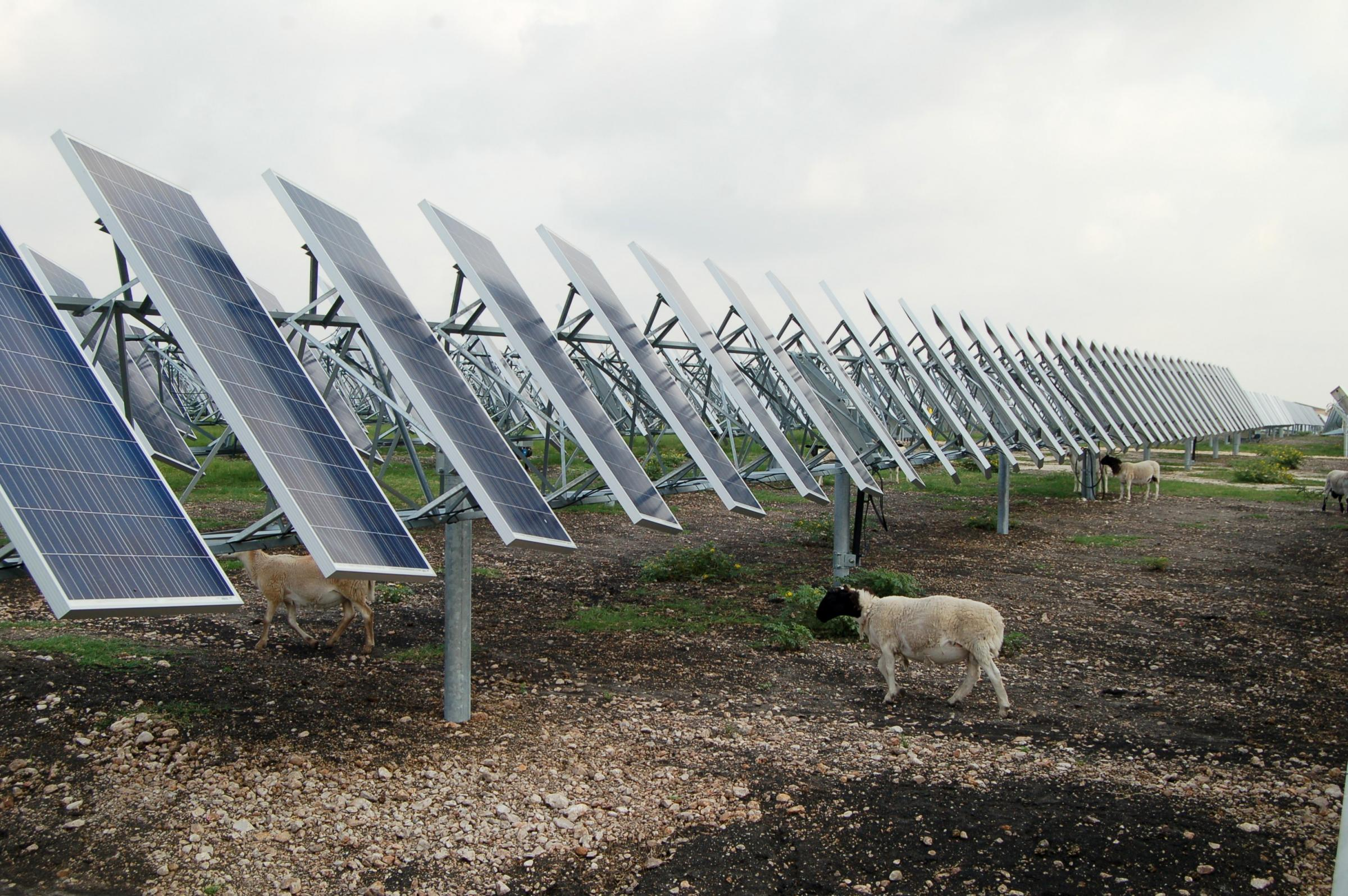 Sheep keeping grass under control at oci solar farm in for Solar ranch