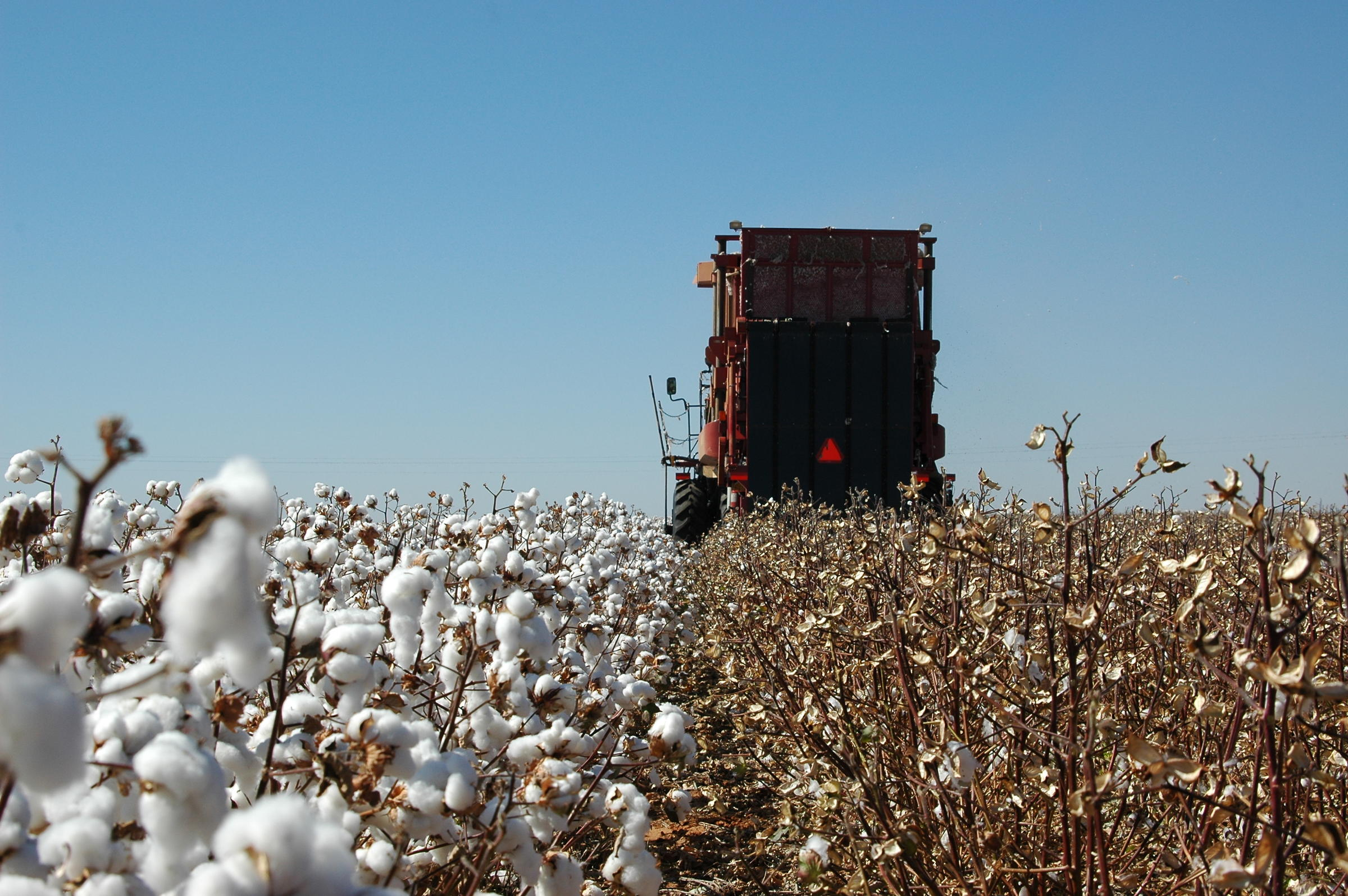 Researchers Predict Texas Cotton Can Withstand Climate