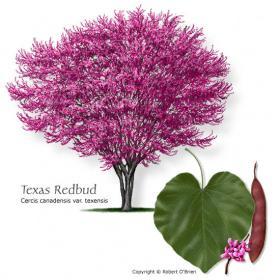 Texas Redbud