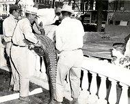 Handlers moving Oscar the Alligator, ca. 1953