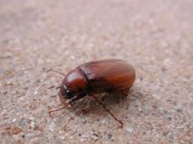 Adult June beetle