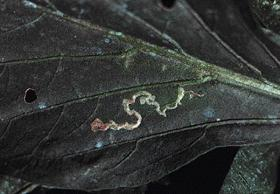 Damage from a leaf miner