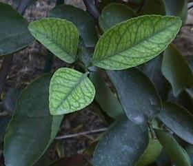Iron deficiency appears in the upper leaves of plants