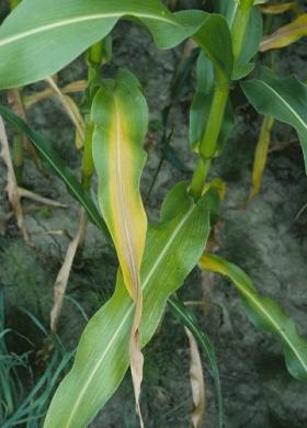 nitrogen deficiency appears in the lower leaves of plants, demonstrated here on corn