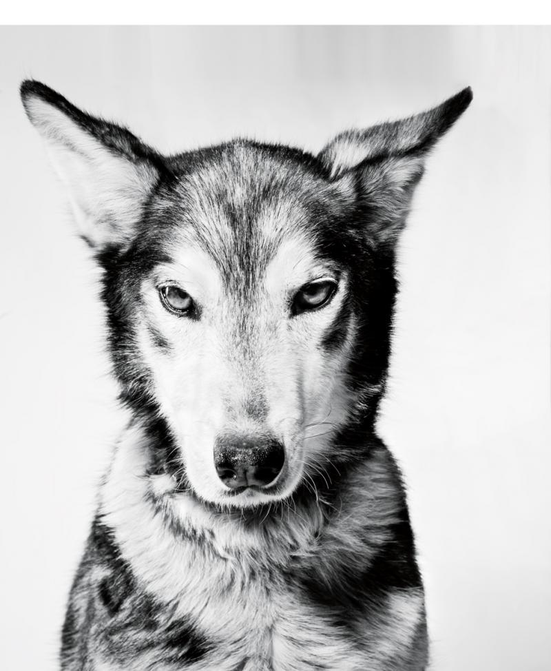 Angel, the so-called psoter child of sled dogs.  He runs with Big Lake musher Martin Buser.