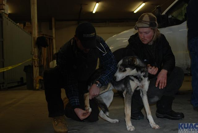 Rookie musher Markus Ingebretsen helps a vet with one of his dogs.
