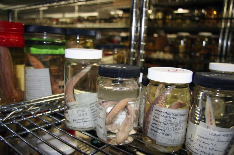 Jars of fish and marine invertebrates line shelves in the basement of the Museum of the North.