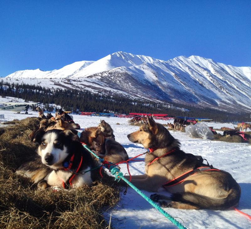 Iditarod Sled dogs rest in the afternoon sunshine.