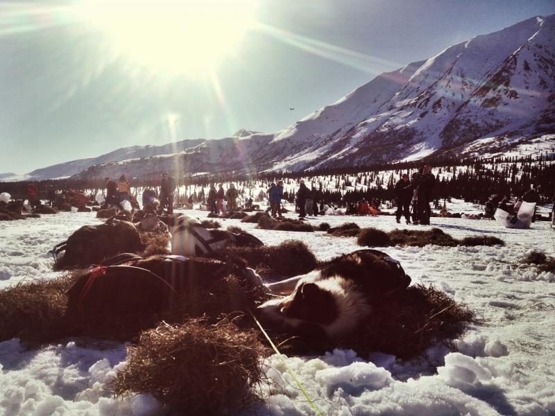 It was a warm day for sled dogs in Rainy Pass with temperatures into the mid 30's