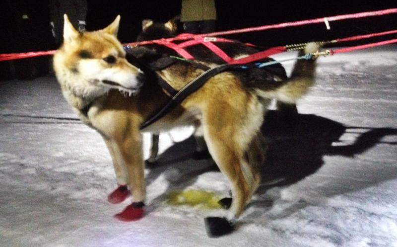 a lsed dogs waits as Mitch Seavey signs in and out of the checkpoint