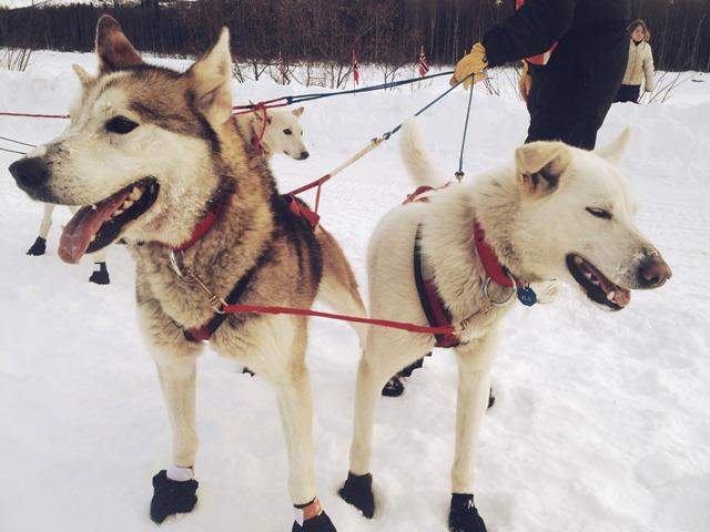 These sled dogs are ready for more.  The blew through Takotna with Kristy Berrington.