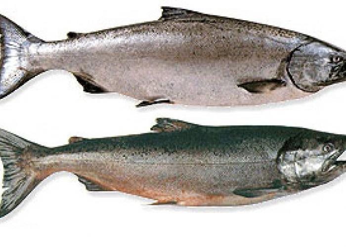 king salmon single personals Cl washington choose the site nearest you: bellingham kennewick-pasco-richland lewiston / clarkston.