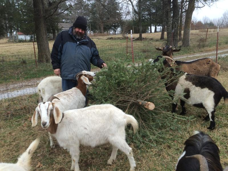 Jason Estes, operator of Greedy Goats of NWA, watches his herd enjoy a post-holiday Christmas tree snack.
