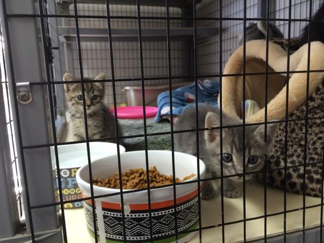 Kittens await adoption at the Bella Vista Animal Shelter.