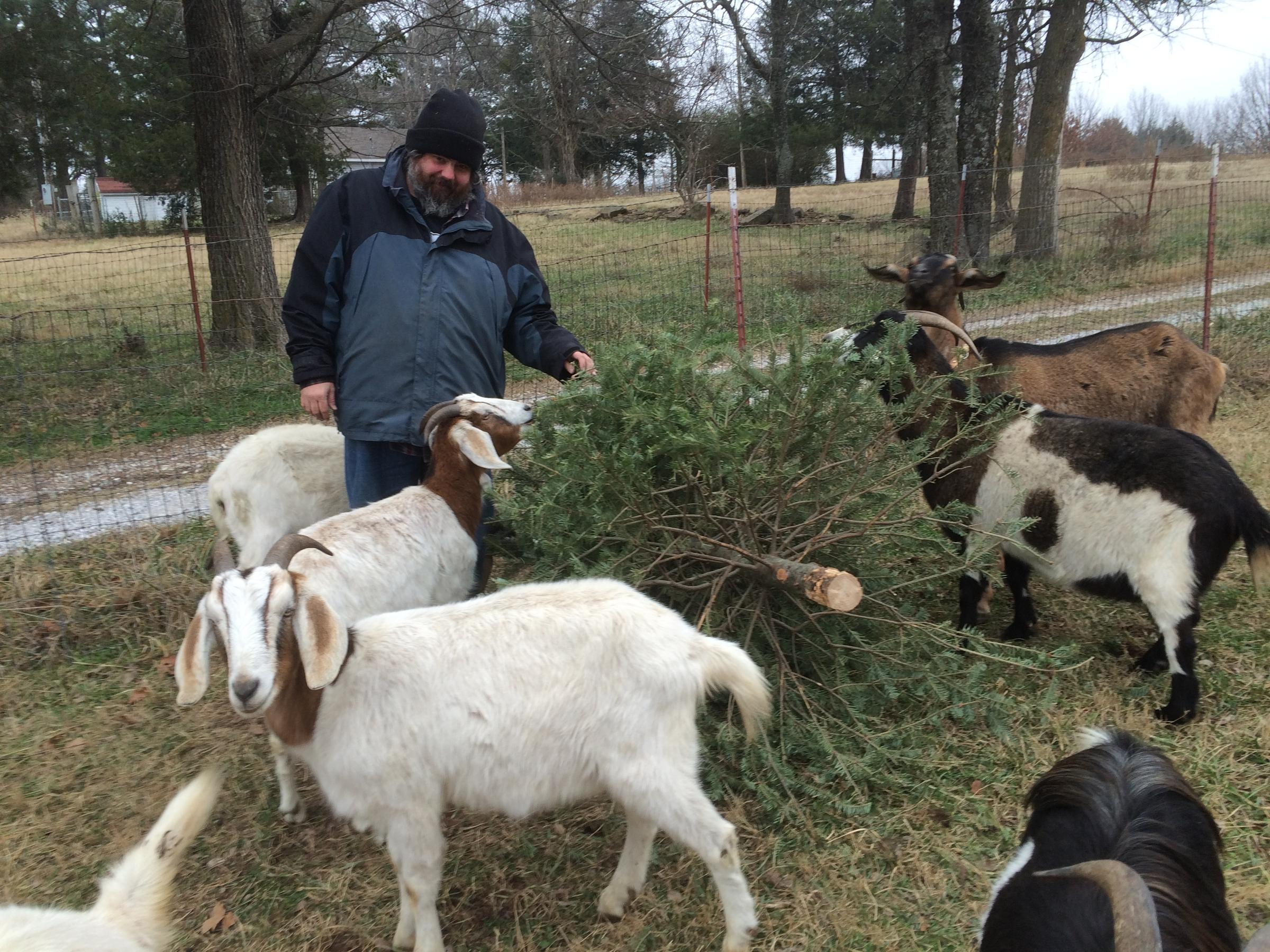 Goats: Alternative for Disposing of Christmas Trees | KUAF
