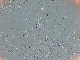 A uniflagellate pygsuia.