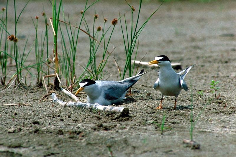 Interior least terns