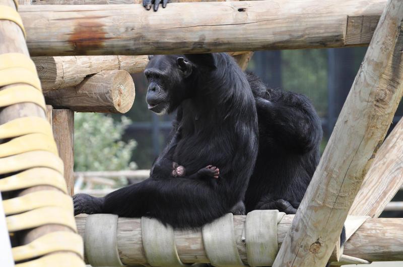 Chimp chimpanzee Little Rock Zoo