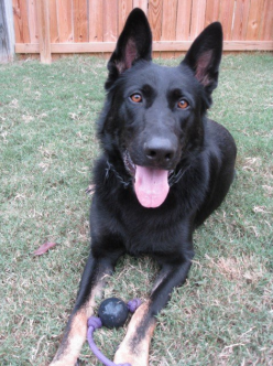 Titus Little Rock Police Dog