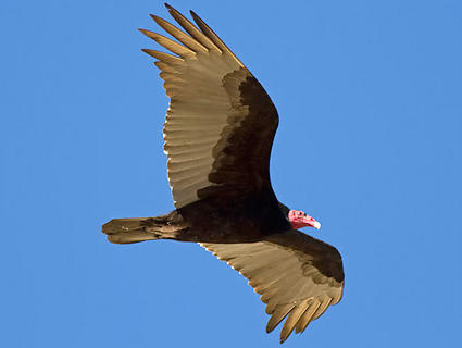 Turkey vulture soaring, searching for fresh carrion.