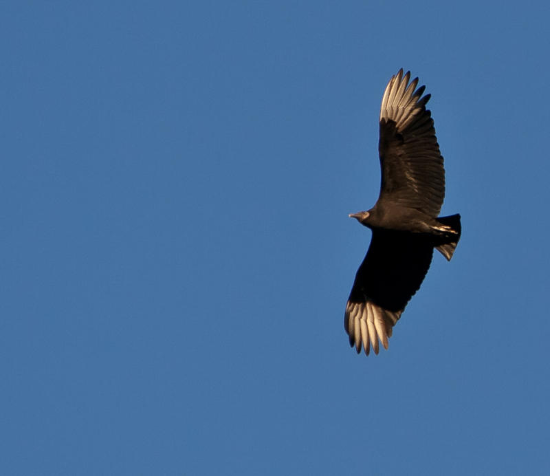 While soaring, black vultures show off their white wing tips. Look for these field marks when deciding whether the vulture you are seeing is a black or a turkey vulture.