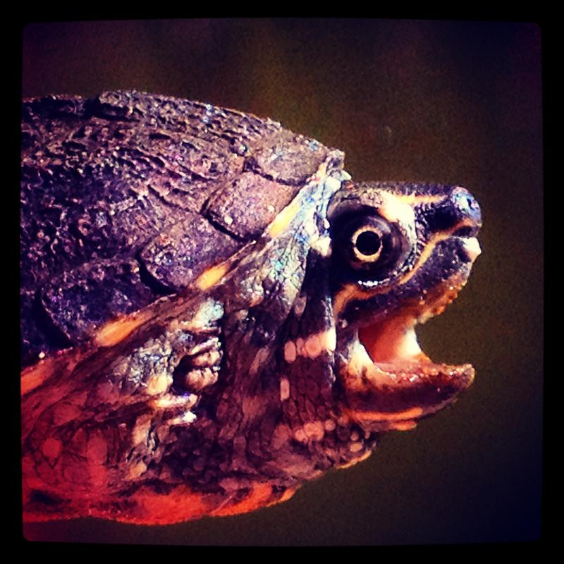 Juvenile Stinkpot Turtle