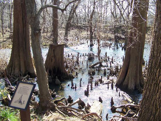 Bald Cypress knees along the Kingfisher Trail in Pinnacle Mountain State Park.