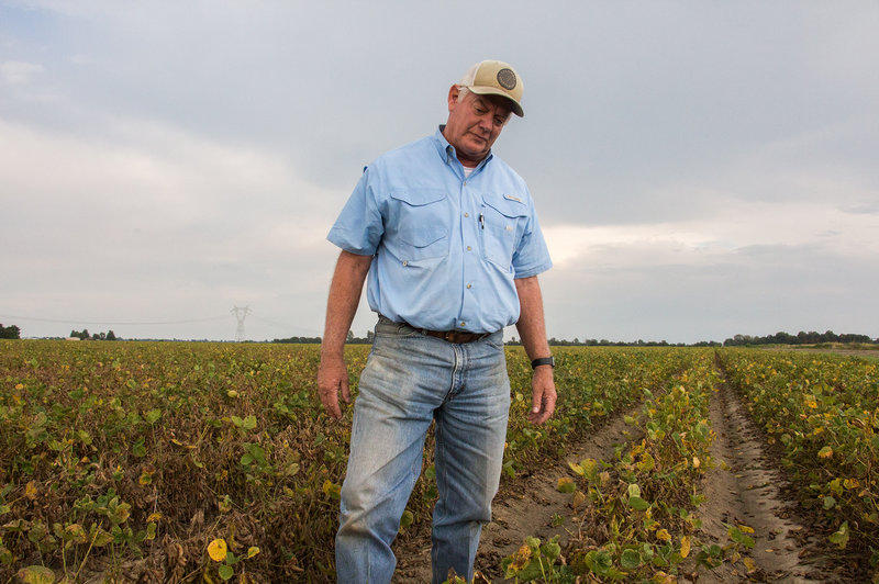 David Wildy, a prominent Arkansas farmer, in a field of soybeans that were damaged by dicamba.