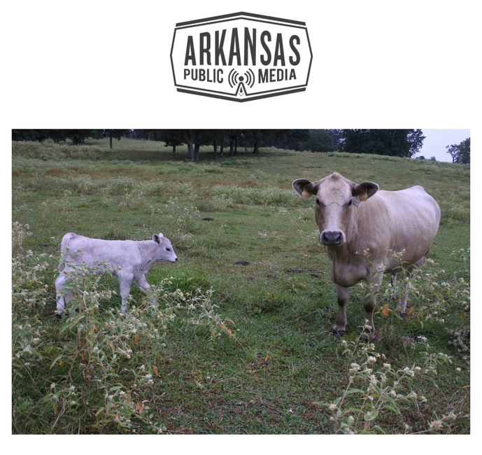 A mother cow and her baby, who was born Sept. 9, at the ranch on County Rd 766 in Jonesboro. The announcement earlier this year that China will reopen its ports to U.S. beef will be a boon to Arkansas ranchers whether or not their beef ends up in Beijing.