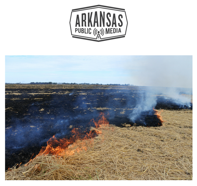 Rice residue is burned off to help clear a field in Osceola.  Field burns are legal, and farmers don't need a permit.
