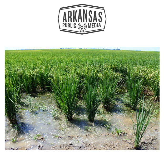 Rows of rice in Mississippi County, summer 2018