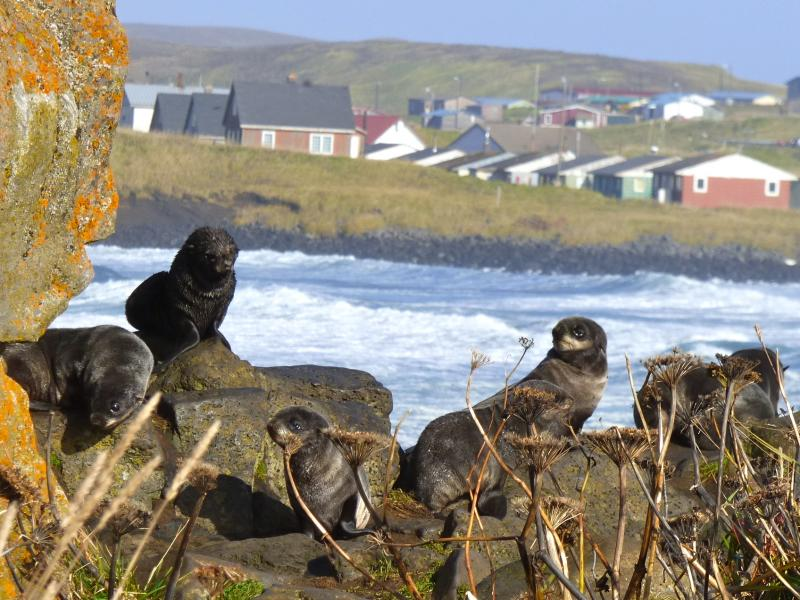 Fur seal pups outside the Aleut (Unangan) village of St. Paul, Alaska.