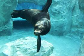 """""""Big Guy"""", the California Sea Lion, in Rocky Shores at Utah's Hogle Zoo."""