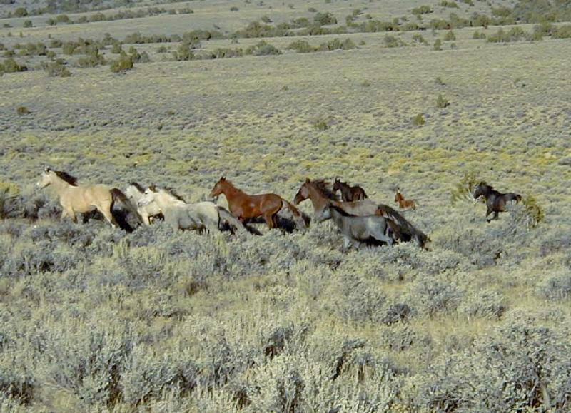 Wild horses on public rangeland near Ely, Nevada