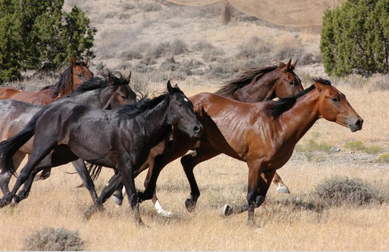 A wild horse roundup on public land in Utah