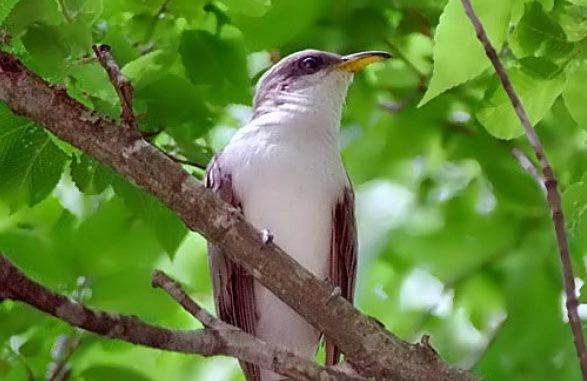 Western yellow-billed cuckoo (Coccyzus americanus)
