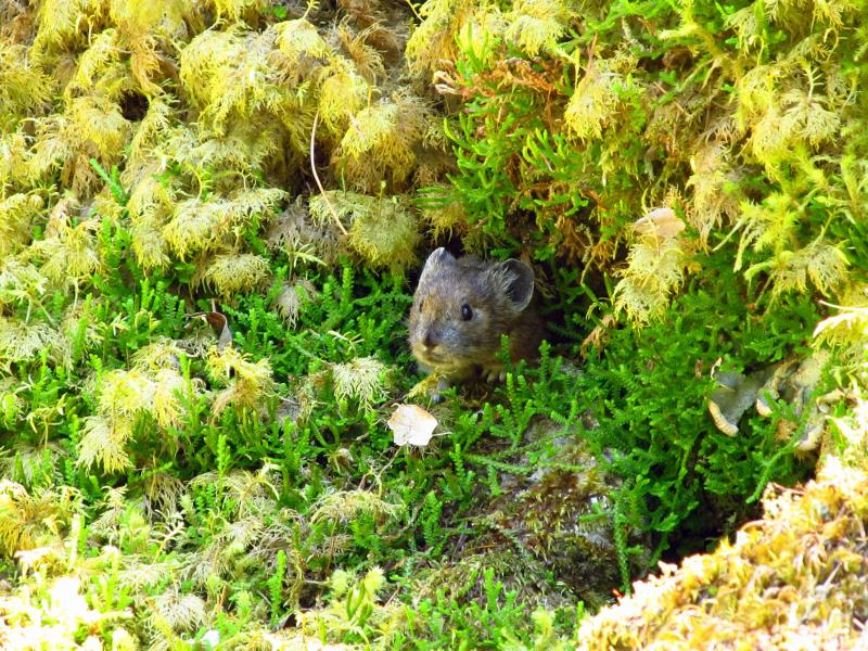 Low-elevation pikas (Ochotona princeps) in the Columbia River Gorge thrive by eating moss