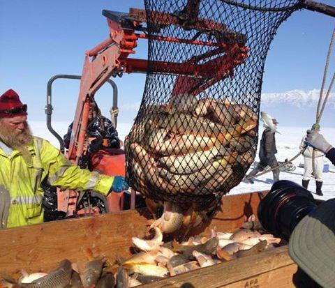 A commercial fishing crew pulls carp from an ice-covered Utah Lake